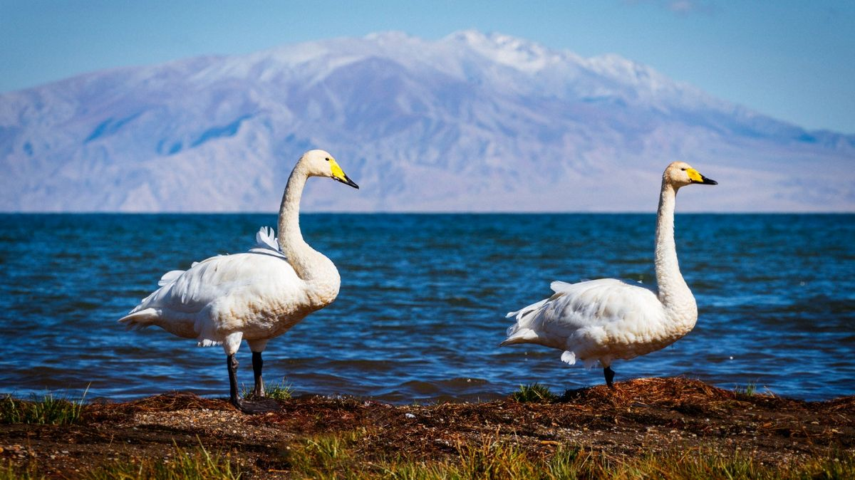 nature photography swan
