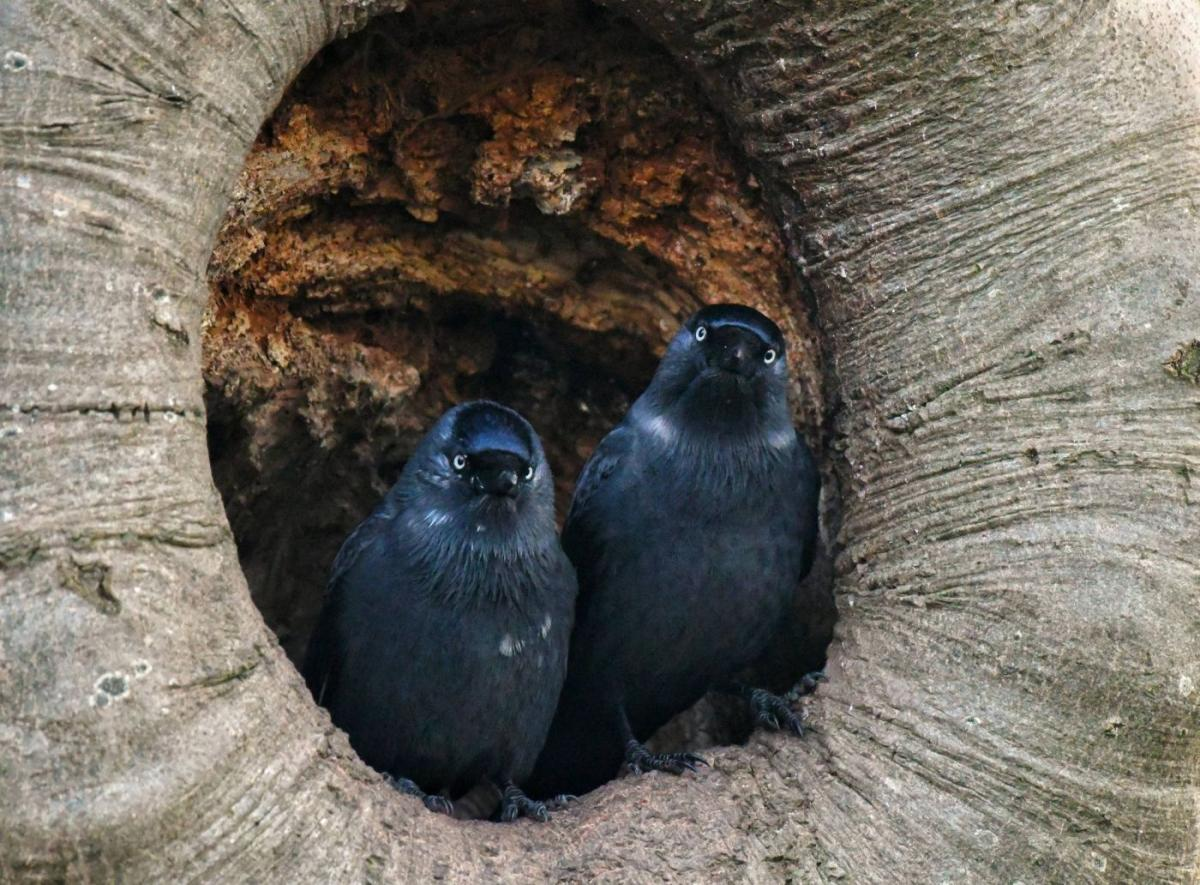 best bird photography two jackdaws tree hollow
