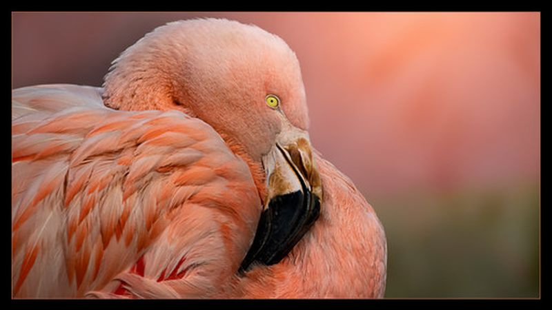 bird photography flamingoes by jacquie matechuk